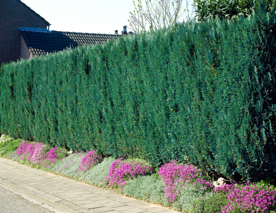 Cipres van Haagplanten Heijnen